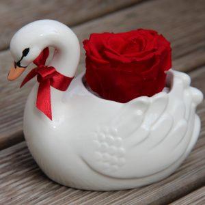 Mieganti raudona rožė gulbėje