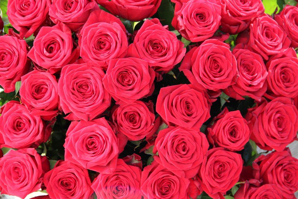 51 raudona rožė