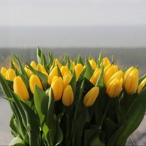 geltonos tulpės