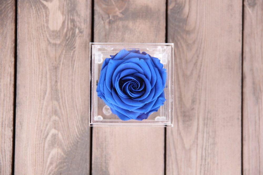 Tamsiai mėlyna mieganti rožė